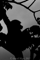 Silhouette of small Baboon