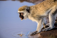 Vervet Monkey at watering hole