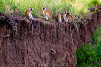Troop of Vervet Monkeys