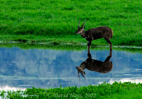 Male Bushbuck in small pond