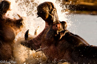 Male Hippo Defending Harem
