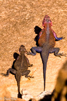 Pair of Agama Lizards