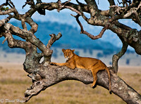 Lioness in Sausage Tree