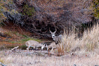 White Tail yearlings playing